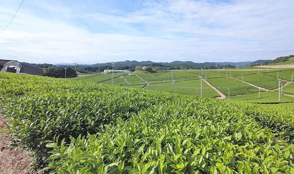 八女中央大茶園(パイロット大茶園)(福岡県 八女郡)